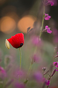 Red wild poppy, soft focus