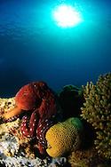 Common Octopus, Octopus vulgaris
