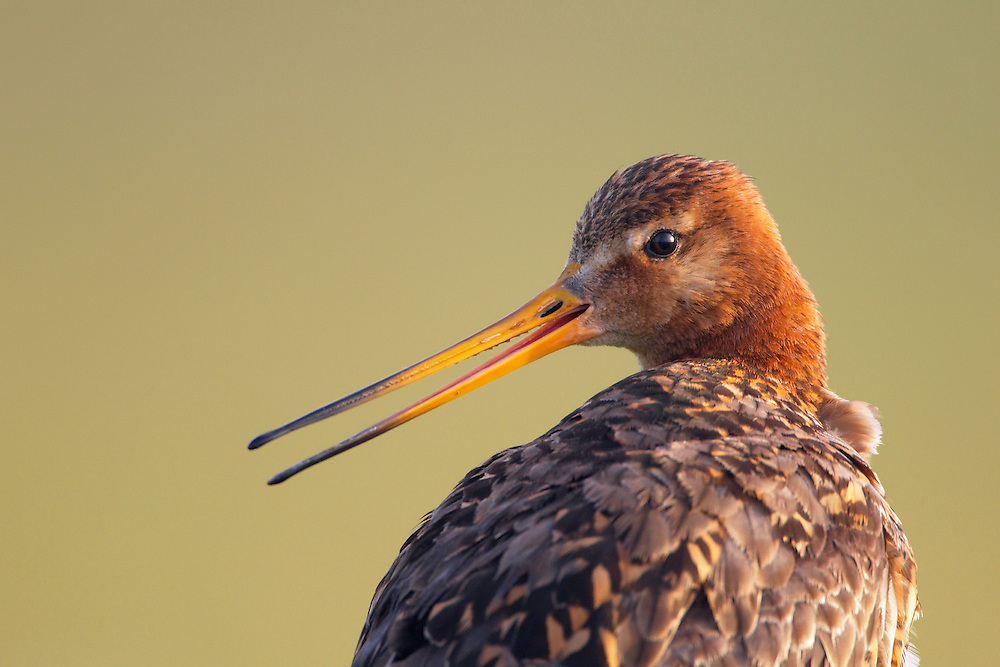 Black-tailed Godwit (Limosa limosa) Texel, The Netherlands