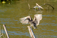 Immature Black-crowned night heron (Nycticorax nycticorax) landing on a post in Lake Chapala, Jalisco, Mexico