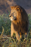 Portrait of male African lion standing in the late afternoon sun, Duba Plains, Botswana