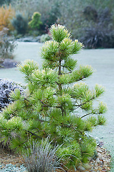 Pinus radiata 'Aurea' on a frosty morning in winter at Ashwood Nurseries