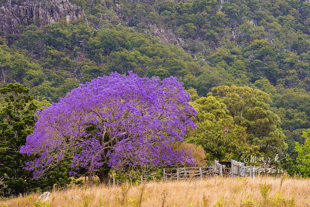 Flowering Jacaranda tree & Mt Maroon, Mt Barney National Park, Queensland, Australia