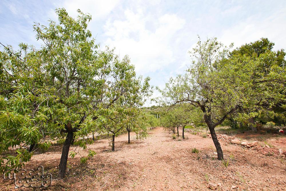 Rows of almond trees in almond grove, Valencia Region, Spain