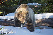 This sub-adult grizzly, affectionately known as Snow, will be denning on her own for the first time during the winter of 2018/2019. She was last seen, looking very sleepy, after a mid-October snowstorm. She will remain safe in her den until spring, when we look forward to seeing her again.