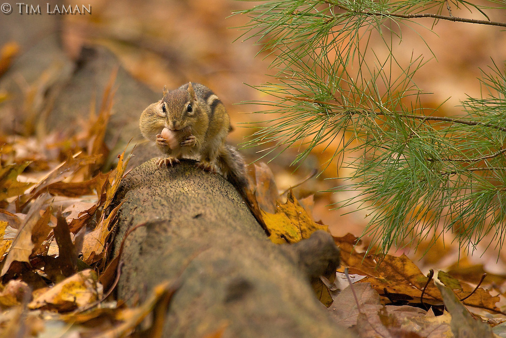 A eastern chipmunk (Tamias striatus)  stoped on a fallen log to put more acorns in his mouth during the fall.