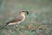Isabelline Wheatear (Oenanthe isabellina) with insect prey near Amarbayasgalant<br /> Mongolia