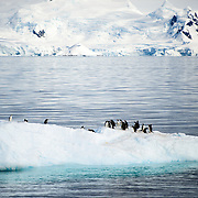 A group of Gentoo penguins catch a ride on a small iceberg in Fournier Bay next to Anvers Island in Antarctica.