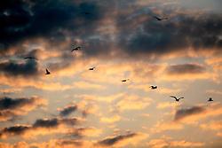 UK ENGLAND NORFOLK WALCOTT 20MAY07 - Seagulls in the evening sky  at the beach in Walcott, north Norfolk coast...jre/Photo by Jiri Rezac..© Jiri Rezac 2007..Contact: +44 (0) 7050 110 417.Mobile:  +44 (0) 7801 337 683.Office:  +44 (0) 20 8968 9635..Email:   jiri@jirirezac.com.Web:    www.jirirezac.com..© All images Jiri Rezac 2007 - All rights reserved.