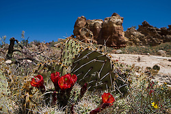Red flowers of a Claret Cup Cactus (Echinocereus triglochidiatus.) grow along the Sand Canyon Trail, Canyons of the Ancients National Monument, Colorado.