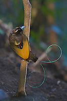 Magnificent Bird of Paradise.(Cicinnurus magnificus) male at his display perch in the middle of his cleared court..