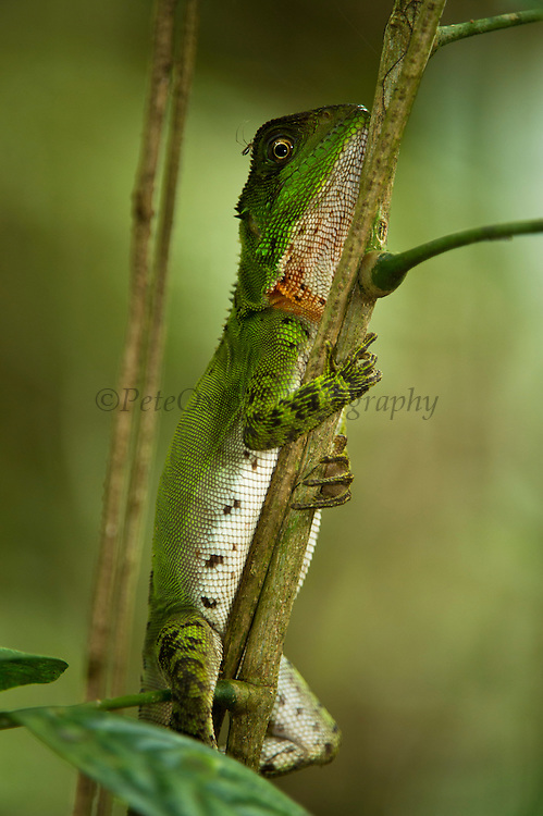 Guichenot's Dwarf Iguana (Enyaliodes laticeps)<br /> Yasuni National Park, Amazon Rainforest<br /> ECUADOR. South America<br /> HABITAT & RANGE: Native to Western Amazonian forests from Colombia, Ecuador, Peru and Brazil.