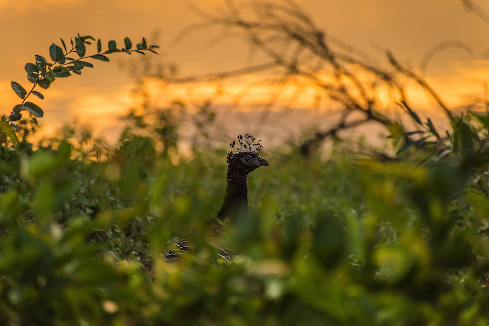 Bare-faced Currasow at sunrise, Pantanal, Brazil.
