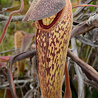 This unusual species of pitcher plant (Nepenthes klossii) bears a concealed opening to deceive insect prey. It is extremely rare, only growing in remote high elevaton swampy forests in New Guinea. Papua, Indonesia.