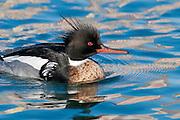 Red-breasted Merganser, Mergus serrator, male, Detroit River, Ontario