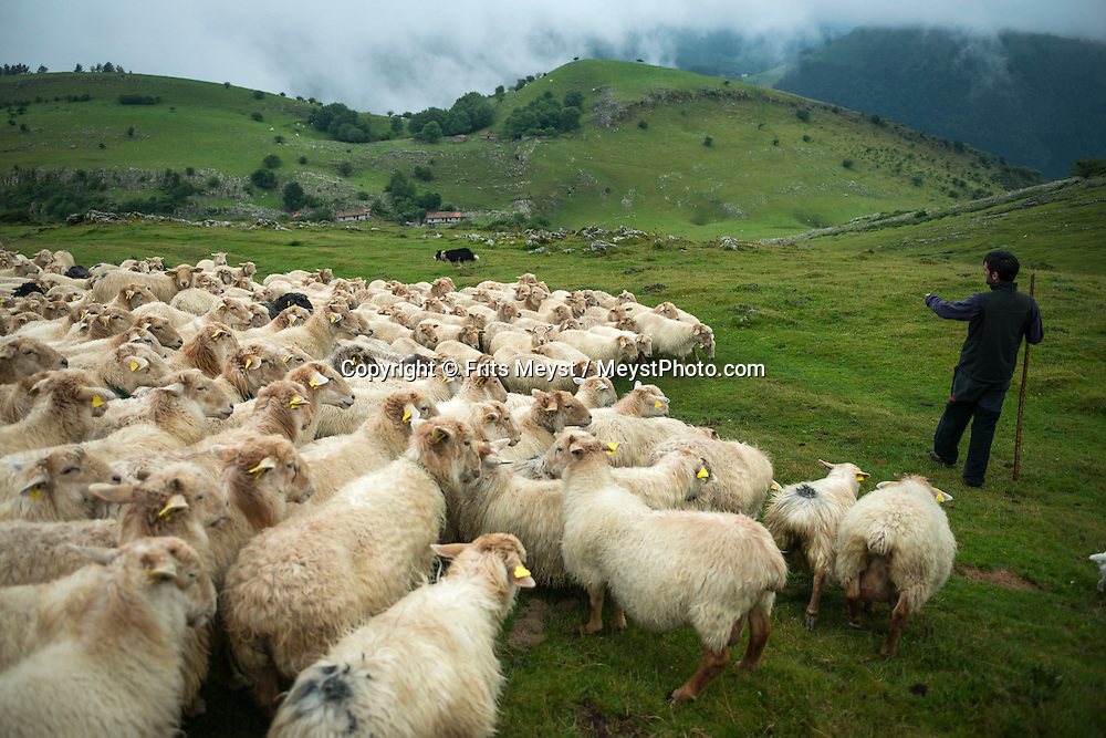 Ordizia, Gipuzkoa, Basque Country, Spain, June 2014. Basque shepherd and Idiazabal cheesemaker, Joseba Insausti Mujika herds his sheep through the mountains above the village of Zaldivia.  Idiazabal is a pressed cheese made from unpasteurized sheep milk, usually from Latxa and Carranzana sheep in the Basque Country. The cheese is handmade and covered in a hard, dark brown, inedible rind. It is aged for a few months and develops a nutty, buttery flavor, eaten fresh, often with quince jam. If aged longer, it becomes firm, dry and sharp and can be used for grating. The Basque Country (Basque: Euskadi, Spanish: Pais Vasco) is a region at the north of Spain, bordering the Atlantic Ocean and France. It is defined formally as an autonomous community of three provinces within Spain. Basque Country is one of the world's top gastronomic destinations. Photo by Frits Meyst / MeystPhoto.com