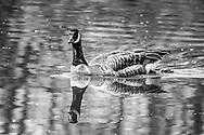 Canada Goose-Bernache du Canada (Branta canadensis), France.