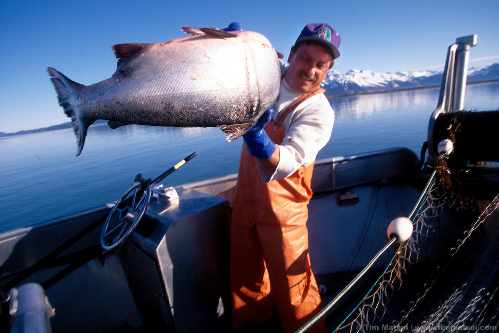 Fisherman Pip Fillingham pulls a king salmon out of the gill net on his jet boat at the mouth of the Copper River, near Cordova, AK.