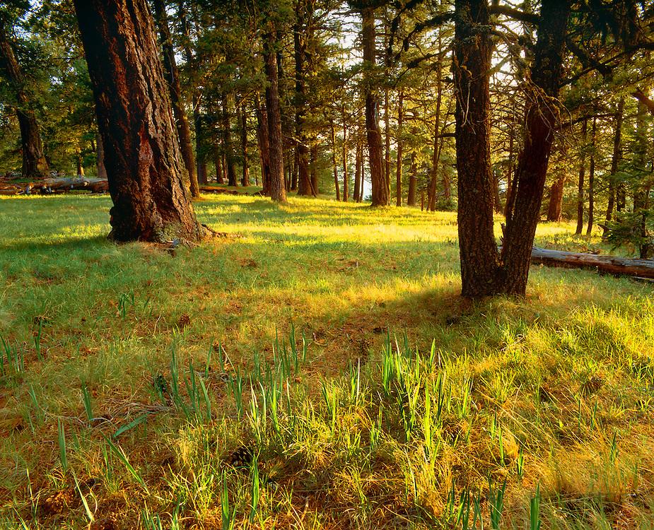 0242-1004 ~ Copyright:  George H. H. Huey ~ Ponderosa pines [Pinus ponderosa] near the summit of Mount Withington. San Mateo Mountains.  Cibola National Forest, New Mexico.