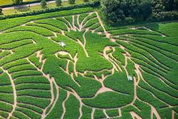 © Licensed to London News Pictures. 12/07/2019. York UK. Farmer Tom Pearcy has created the world's biggest Lion King tribute in a Maize field at his farm near York to mark the 25th anniversary of the Lion King. The giant maze cut into his 15 acre field of maize is believed to be the largest maze in Europe & one of the largest in the world.  Photo credit: Andrew McCaren/LNP