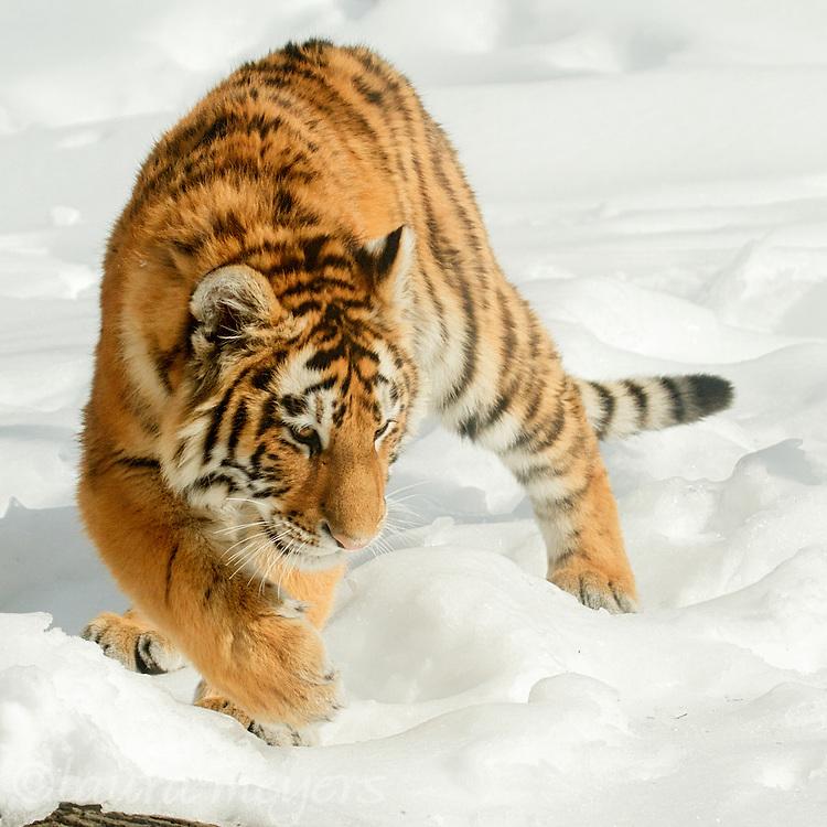 Siberian Tiger Cub walking in snow.