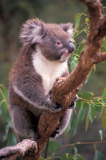 Koala, (Phascolarctos cinereus) Australia.  Captive Animal.