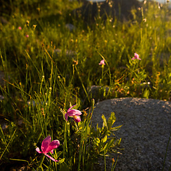 Rose pogonia orchid<br /> Pogonia ophioglossoides, near the outlet of Katahdin Lake near Maine's Baxter State Park. Mount Katahdin is in the distance.