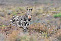 Cape Mountain Zebra stallion in arid Karoo scrubland, Karoo National Park, Western Cape, South Africa