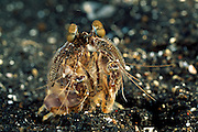 In guter Fangschreckenkrebs-Manier verbirgt dieser Fangschreckenkrebs (Lysiosquilla sulcirostris) seinen Hinterleib wieder in der selbstgegrabenen Höhle. | Mantis Shrimp (Lysiosquilla sulcirostris)
