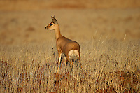 Alert and ears pointed ahead, the steenbok watches around for predators in Damaraland rocky edges of the dry Huab river bed, but the nature has assigned he same tone of colour to everything around: the rocks, the light, the grass, and so to the animals.