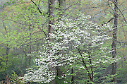 blooming dogwood tree in forest, Tennessee