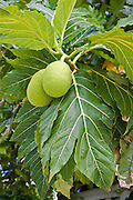 Breadfruit<br />