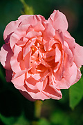KELAAT M'GOUNA, MOROCCO - 14TH MAY 2016 - Close up of rose flower in bloom during the harvest season at the Dades Valley - also known as the 'Valley of Roses' - Southern Morocco.