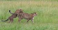 Cheetah cub playfully jumps on mother's back as she walks through grassland, Sequence 1. Phinda Game Reserve, South Africa, © 2019 David A. Ponton
