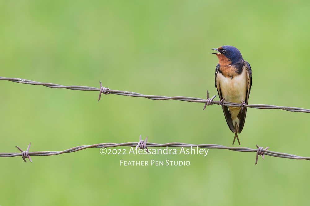 Barn swallow sings while perched on wire fence in farm environment.