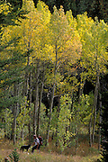 THIS PHOTO IS AVAILABLE FOR WEB DOWNLOAD ONLY. PLEASE CONTACT US FOR A LARGER PHOTO. Idaho. Driggs. Grand Targhee NP, HIker and dog walking in fall colored aspens.