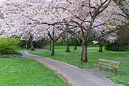 Spring Cherry tree blossoms along the South Creek Trail in Stanley Park in Vancouver, British Columbia, Canada