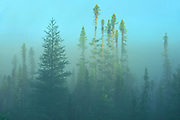 Boreal forest in fog st sunrise<br />Chibougameau<br />Quebec<br />Canada