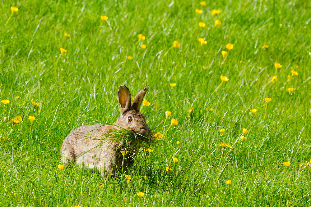 Wild rabbit munching grass in a field of buttercups, UK