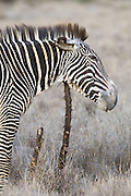 Grevy's Zebra<br /> Equus grevyi<br /> Scratching chin on stump<br /> Lewa Wildlife Conservancy, Northern Kenya