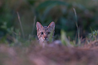 European wild cat (Felis silvestris) in a clearing at Codrii forest, Moldova