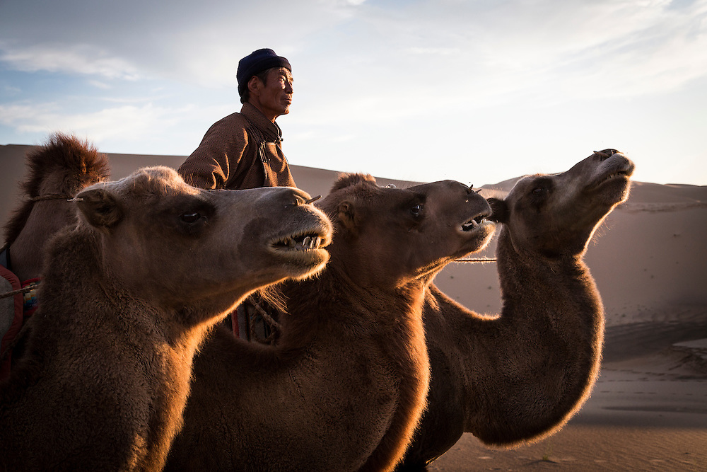 A Mongolian man leads a group of camels over a sand dune in the Gobi Desert on July 28, 2012. © 2012 Tom Turner Photography