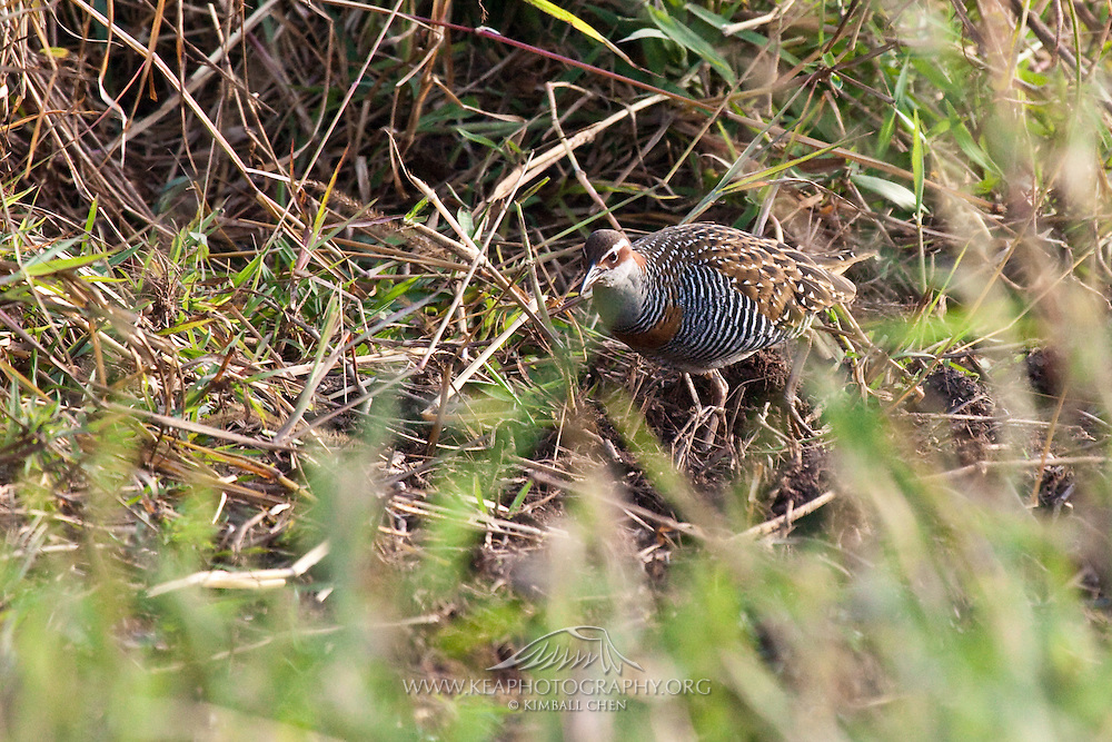 The Banded Rail is secretive in nature, usually only being glimpsed as it scurries into the scrub bordering an estuary north of Auckland.