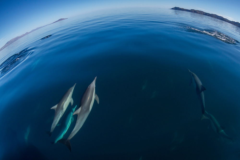While out looking for blue whales, we came across a large pod of spinner dolphins that decided to play with our boat. Photo taken off of Loreto, Baja Mexico