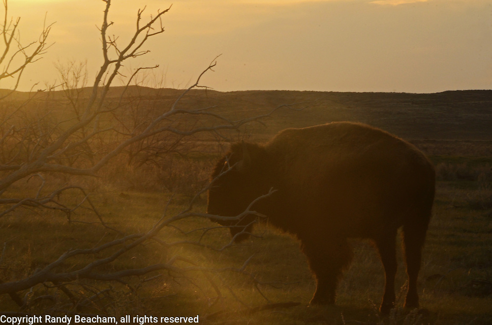 Bison on the Great Plains at sunrise in spring. American Prairie Reserve at Sun Prairie south of Malta in Phillips County, Montana.