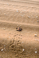 A baby turtle struggles over sand dunes on its way to the ocean at Mapoon, Cape York.
