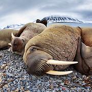 Four Atlantic walruses (Odobenus rosmarus rosmarus) relaxing on a beach in Svalbard
