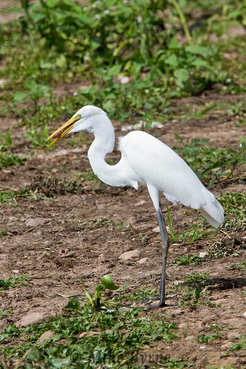 Great Egret (Ardea alba) wading in a Pantanal marsh near Araras Eco Lodge (Pantanal, Mato Grosso, Brazil)