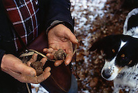 ca. March, 1999, near Norcia, Umbria, Italy --- Truffle Hunter Holding Truffles --- Image by © Owen Franken/CORBIS