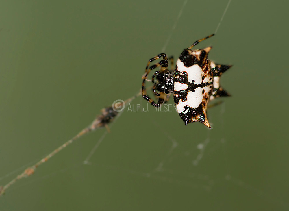 Crab spider (Gasteracantha kuhli) from Tabin national Park, Sabah, Borneo